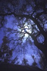 full-moon-oak.jpg