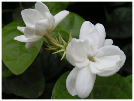 http://thecorner.files.wordpress.com/2009/04/jasmine-flower.jpg